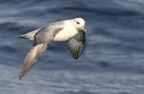 (Fulmarus glacialis) / Birdingspain