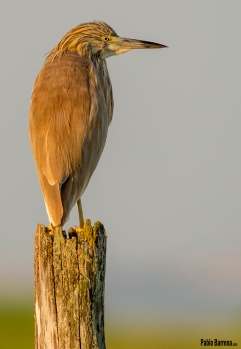 Garcilla cangrejera (Ardeola ralloides) en el poste al amanecer en la Doñana gaditana