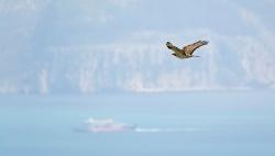 Abejero europeo (Pernis apivorus) sobre el Estrecho