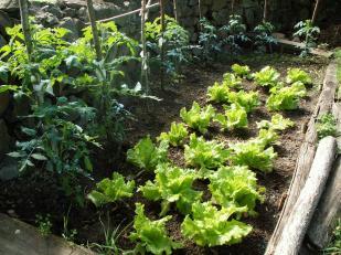 Plantación de lechugas y tomates, las verdaderas protagonistas de esta historia.
