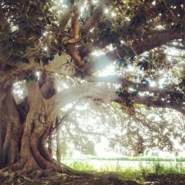 Ficus centenario de Almoradí. Por Alberto Berenguer